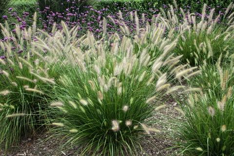 Пеннисетум Хамелн (Pennisetum alopecuroides Hameln)