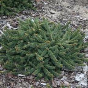 Ель обыкновенная Procumbens 40-60 см.