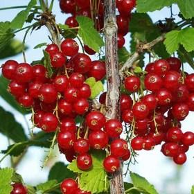 Смородина красная Rolan 80 см.