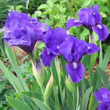 Ирис карликовый лиловый