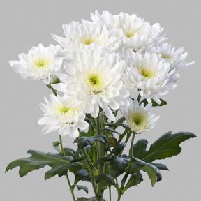 Хризантема молочная
