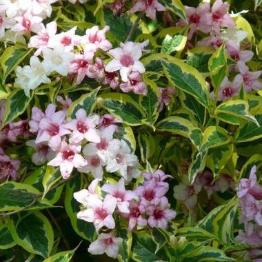 Вейгела цветущая Nana Variegata