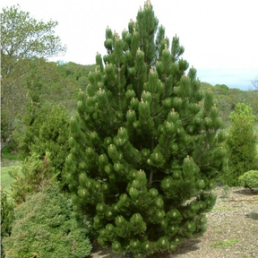 Сосна черная (Pinus nigra)
