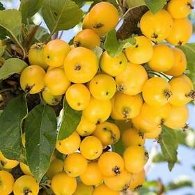 Яблоня Yellow Siberian