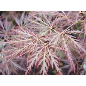 Клен дланевидный Ornatum
