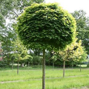 Клен остролистный Globosum