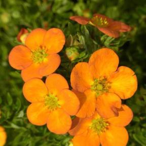 Лапчатка Orange Star